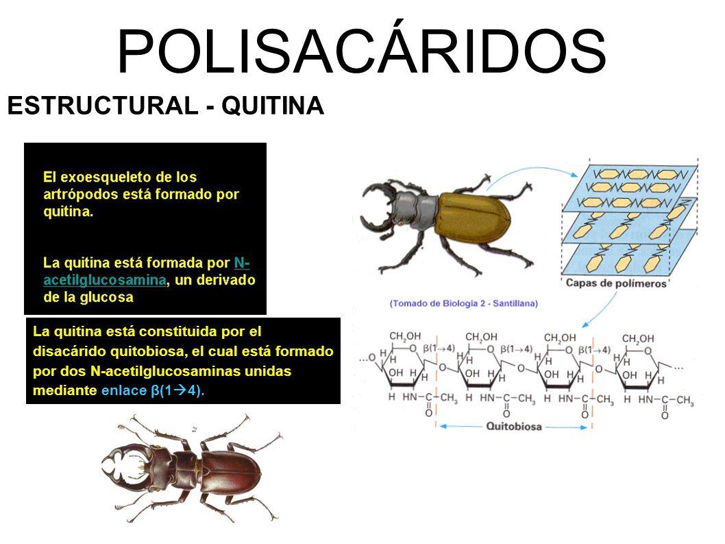 POLISACÁRIDOS ESTRUCTURAL - QUITINA La quitina está constituida por el