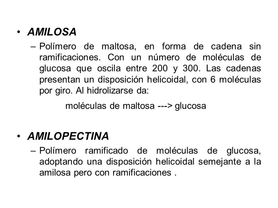 moléculas de maltosa ---> glucosa AMILOPECTINA