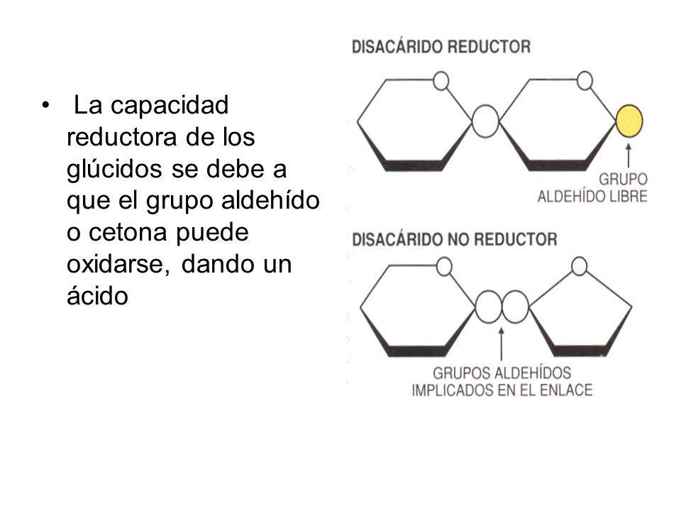 La capacidad reductora de los glúcidos se debe a que el grupo aldehído o cetona puede oxidarse, dando un ácido
