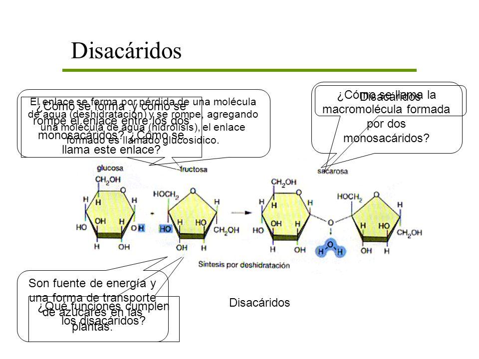 Disacáridos ¿Cómo se llama la macromolécula formada por dos monosacáridos Disacáridos.