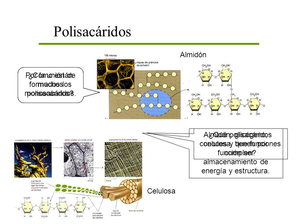 Polisacáridos Almidón Por la unión de muchos monosacáridos.