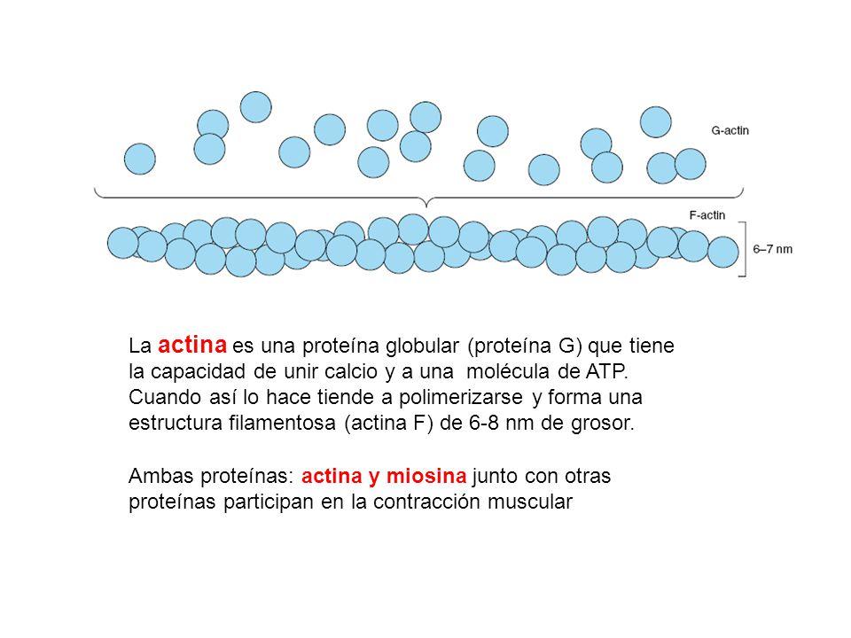 La actina es una proteína globular (proteína G) que tiene la capacidad de unir calcio y a una molécula de ATP. Cuando así lo hace tiende a polimerizarse y forma una estructura filamentosa (actina F) de 6-8 nm de grosor.