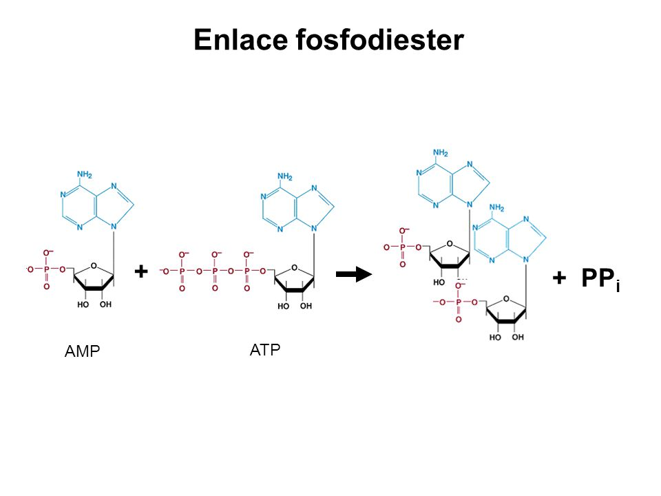 Enlace fosfodiester + + PPi AMP ATP
