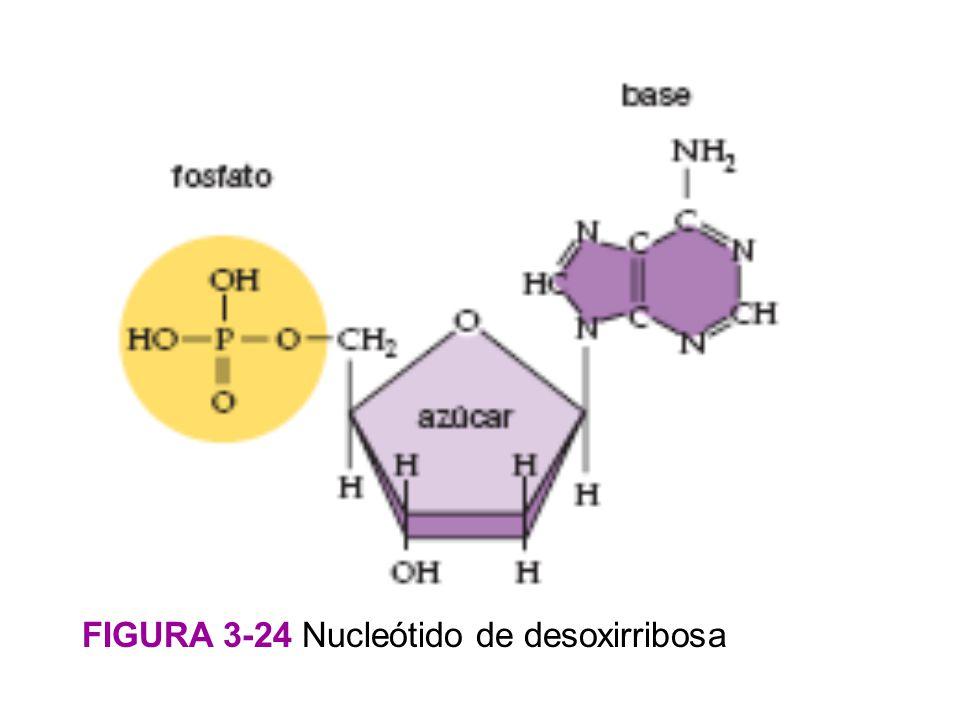 FIGURA 3-24 Nucleótido de desoxirribosa