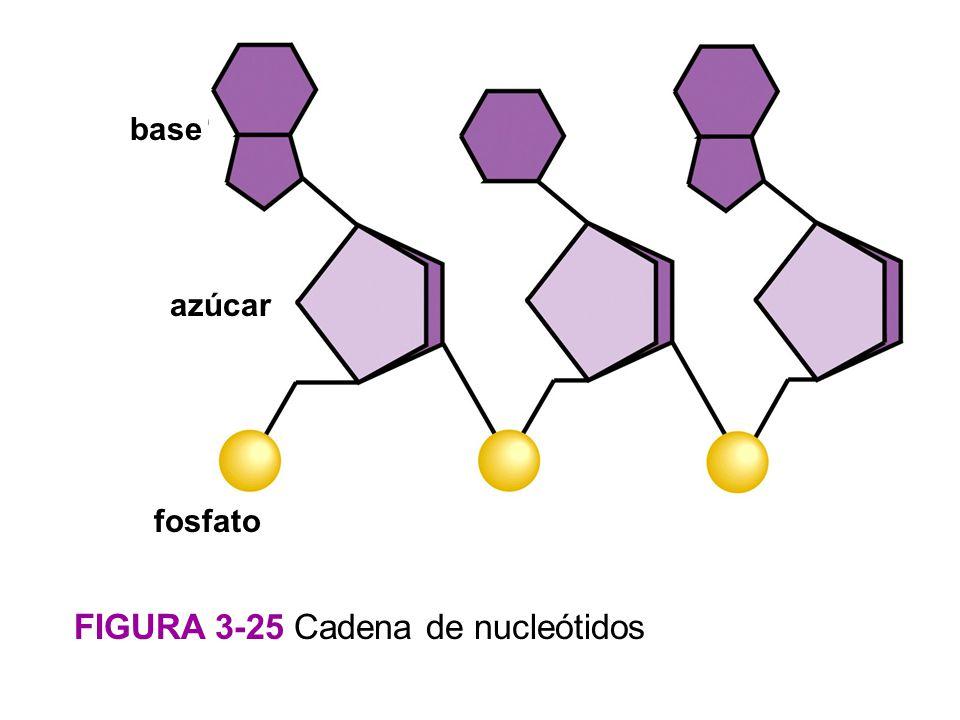 FIGURA 3-25 Cadena de nucleótidos