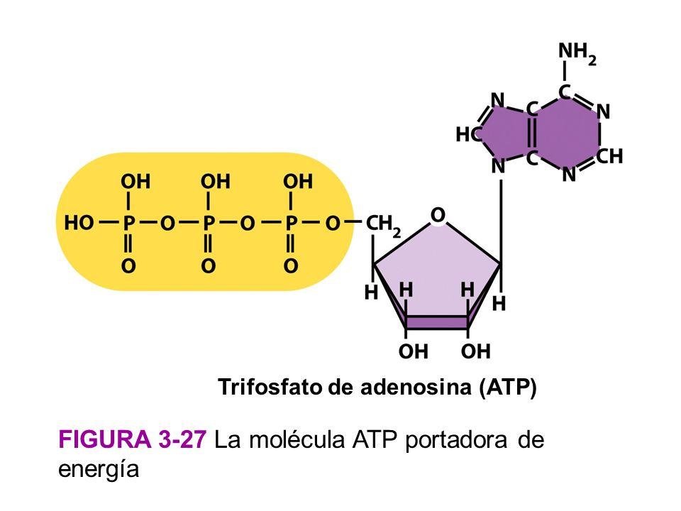 Trifosfato de adenosina (ATP)