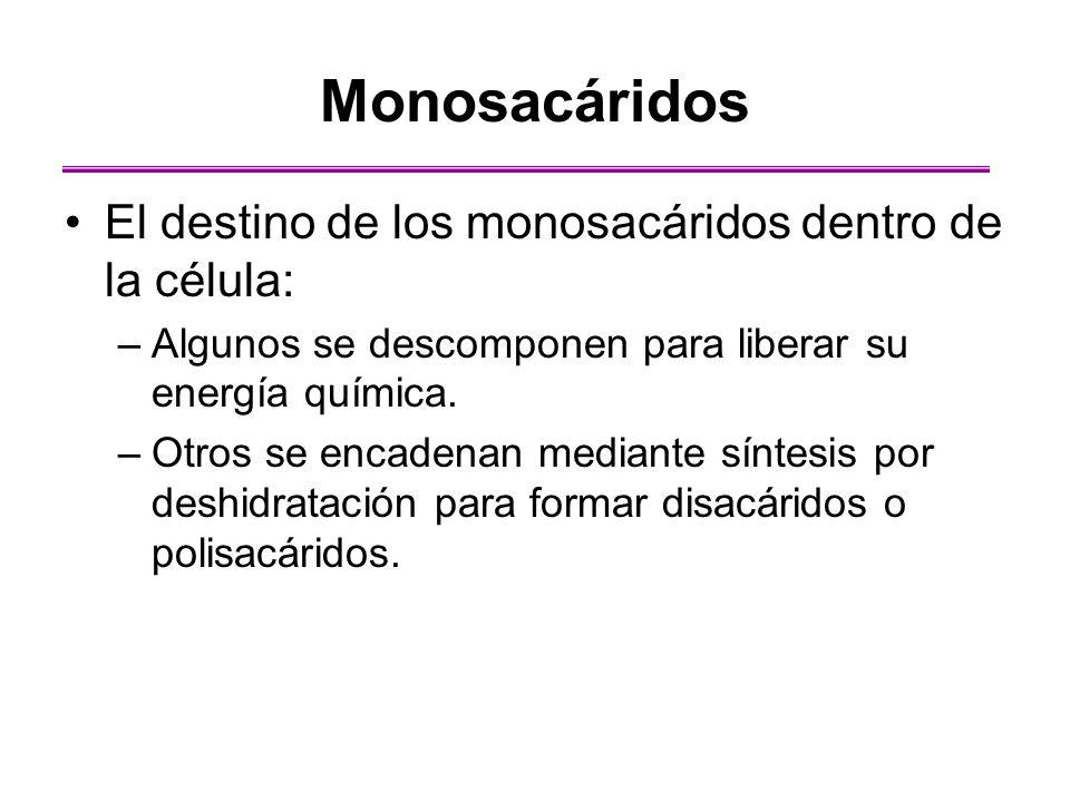 Monosacáridos El destino de los monosacáridos dentro de la célula: