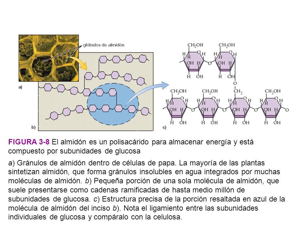 FIGURA 3-8 El almidón es un polisacárido para almacenar energía y está compuesto por subunidades de glucosa