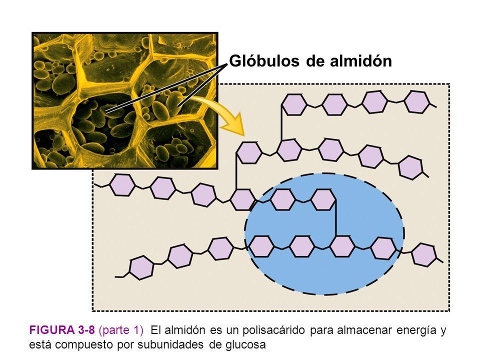 Glóbulos de almidón Figura 3-8 (parte 1) El almidón es un polisacárido para almacenar energía y está compuesto por subunidades de glucosa.