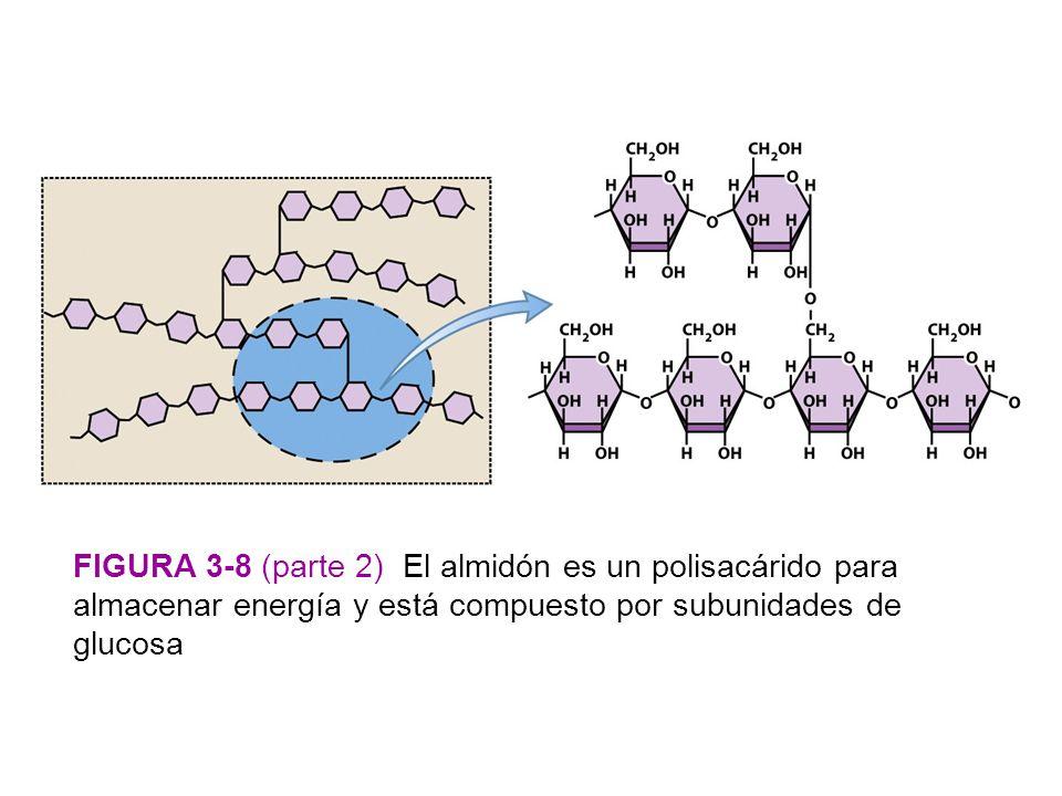 Figura 3-8 (parte 2) El almidón es un polisacárido para almacenar energía y está compuesto por subunidades de glucosa