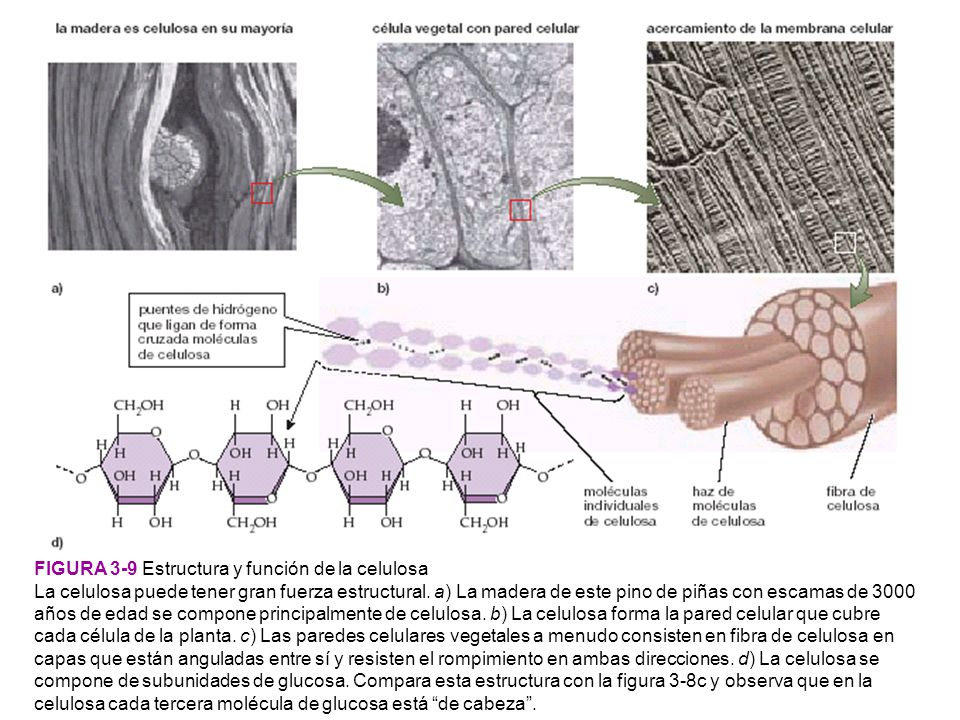FIGURA 3-9 Estructura y función de la celulosa
