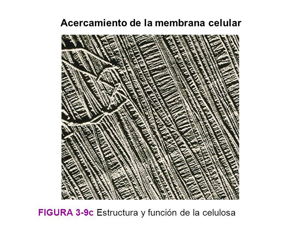 Acercamiento de la membrana celular