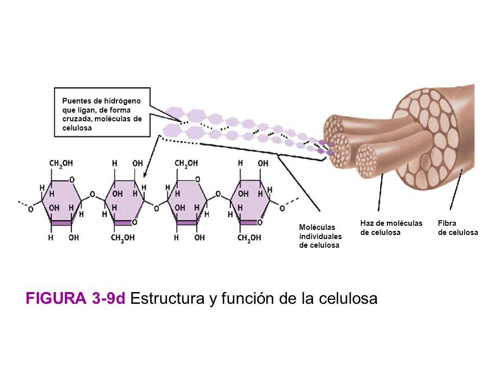 FIGURA 3-9d Estructura y función de la celulosa