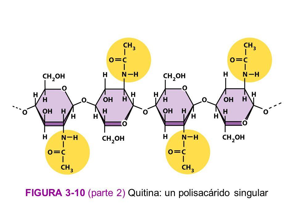 FIGURA 3-10 (parte 2) Quitina: un polisacárido singular