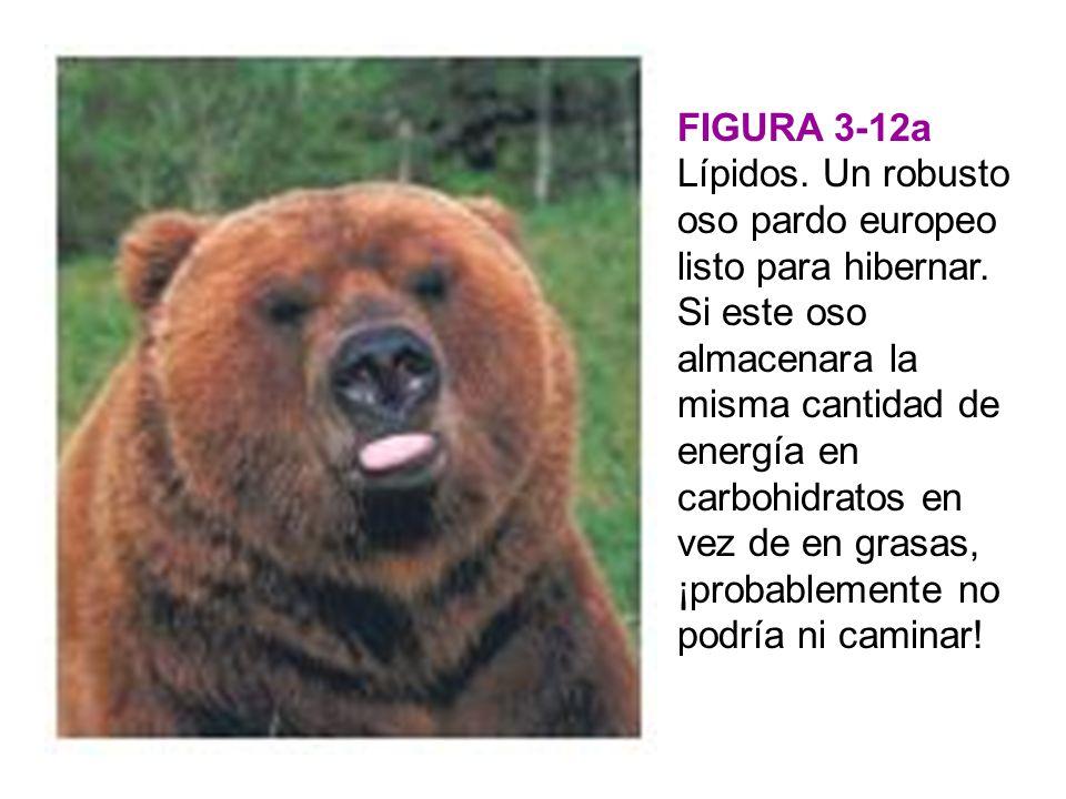 FIGURA 3-12a Lípidos. Un robusto oso pardo europeo listo para hibernar