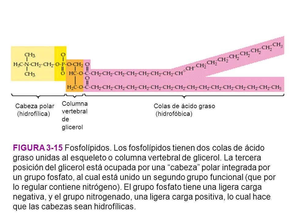 Cabeza polar (hidrofílica) Columna vertebral de glicerol. Colas de ácido graso. (hidrofóbica) Figura 3-15 Fosfolípidos.