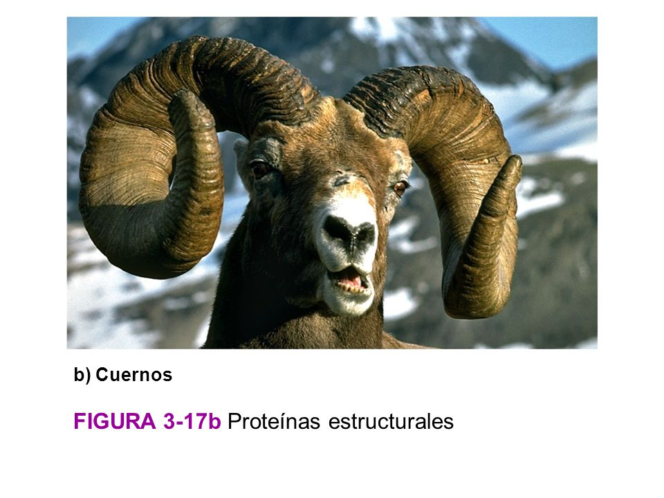 FIGURA 3-17b Proteínas estructurales