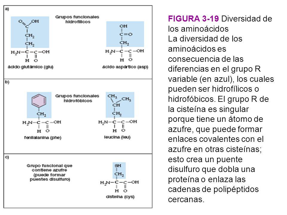 FIGURA 3-19 Diversidad de los aminoácidos