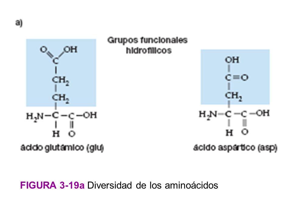 FIGURA 3-19a Diversidad de los aminoácidos