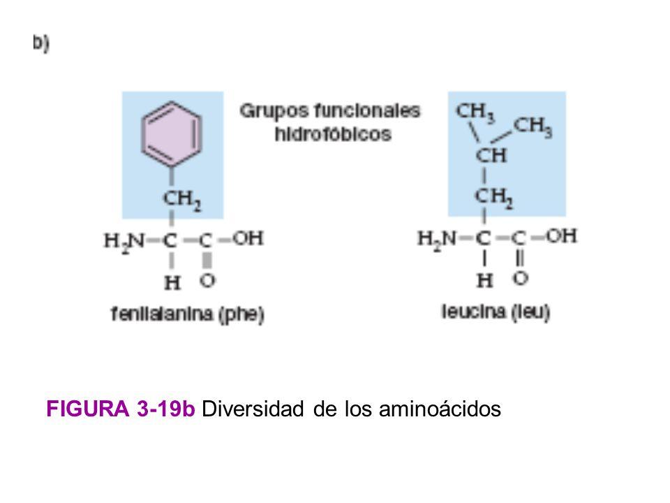 FIGURA 3-19b Diversidad de los aminoácidos