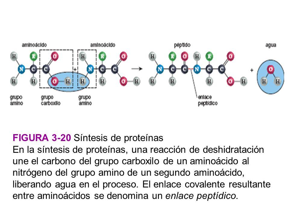 FIGURA 3-20 Síntesis de proteínas