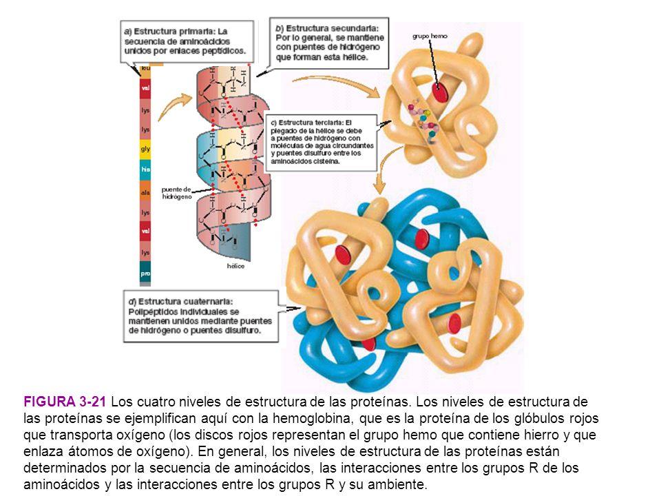 PREGUNTA: ¿Por qué cuando se calientan, la mayoría de las proteínas pierden su capacidad de funcionamiento