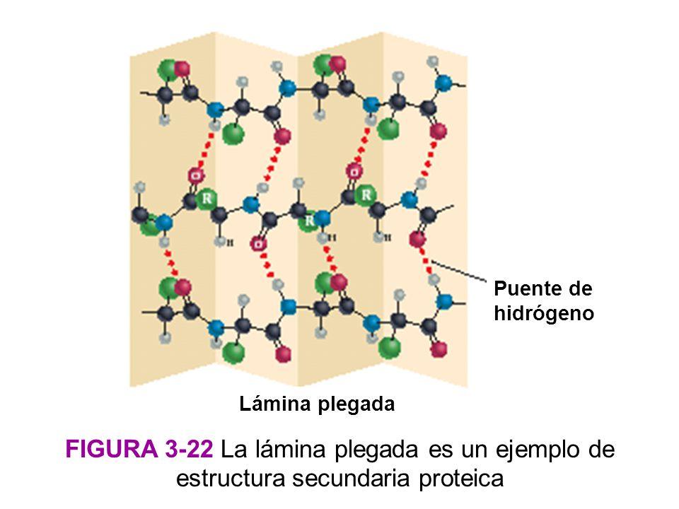 Puente de hidrógeno Lámina plegada. Figura 3-22 La lámina plegada es un ejemplo de estructura secundaria proteica.