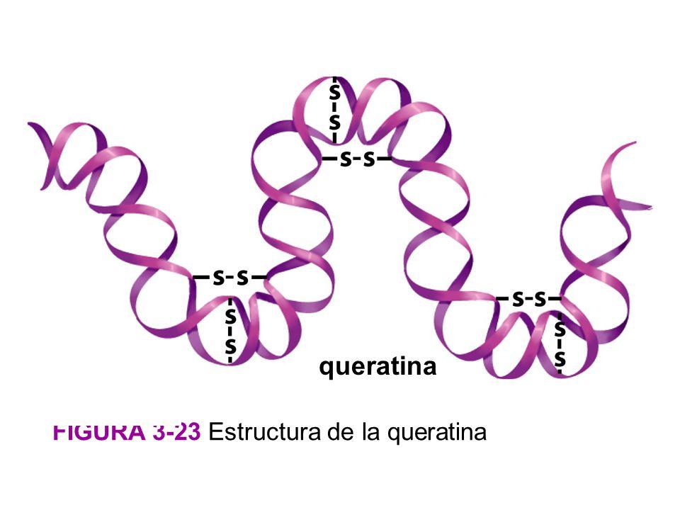 queratina FIGURA 3-23 Estructura de la queratina