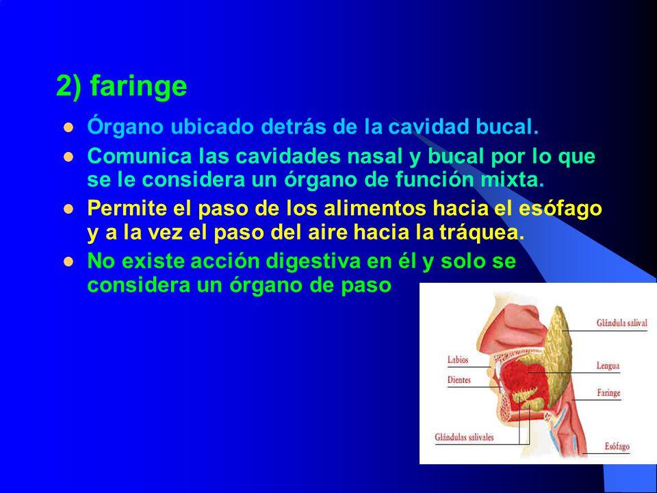 2) faringe Órgano ubicado detrás de la cavidad bucal.
