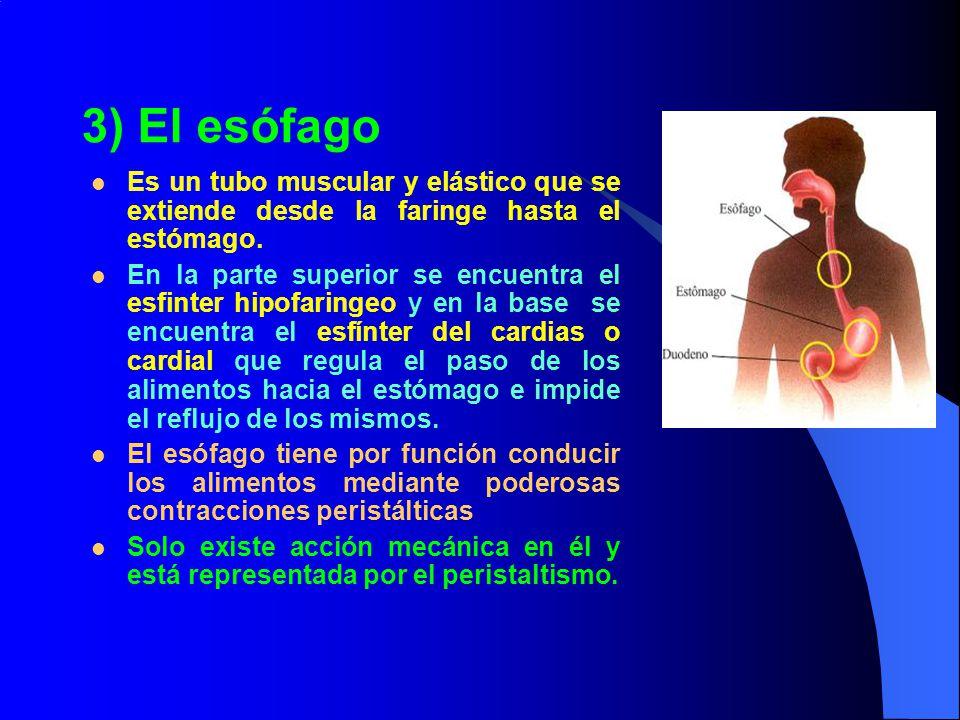 3) El esófago Es un tubo muscular y elástico que se extiende desde la faringe hasta el estómago.