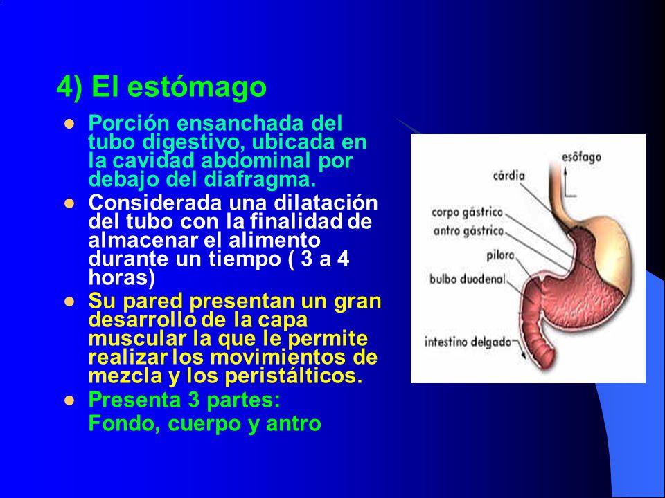4) El estómago Porción ensanchada del tubo digestivo, ubicada en la cavidad abdominal por debajo del diafragma.