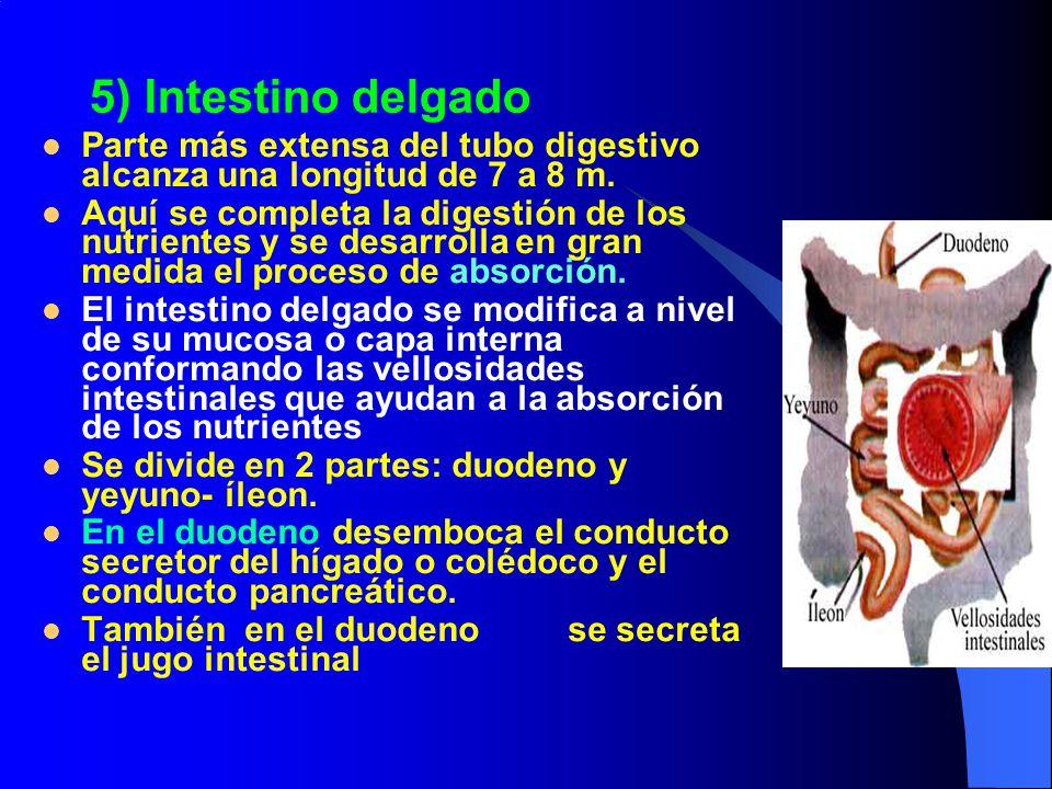 5) Intestino delgado Parte más extensa del tubo digestivo alcanza una longitud de 7 a 8 m.