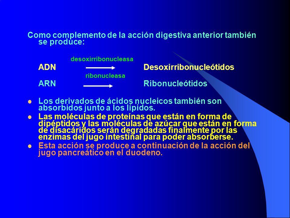 Como complemento de la acción digestiva anterior también se produce:
