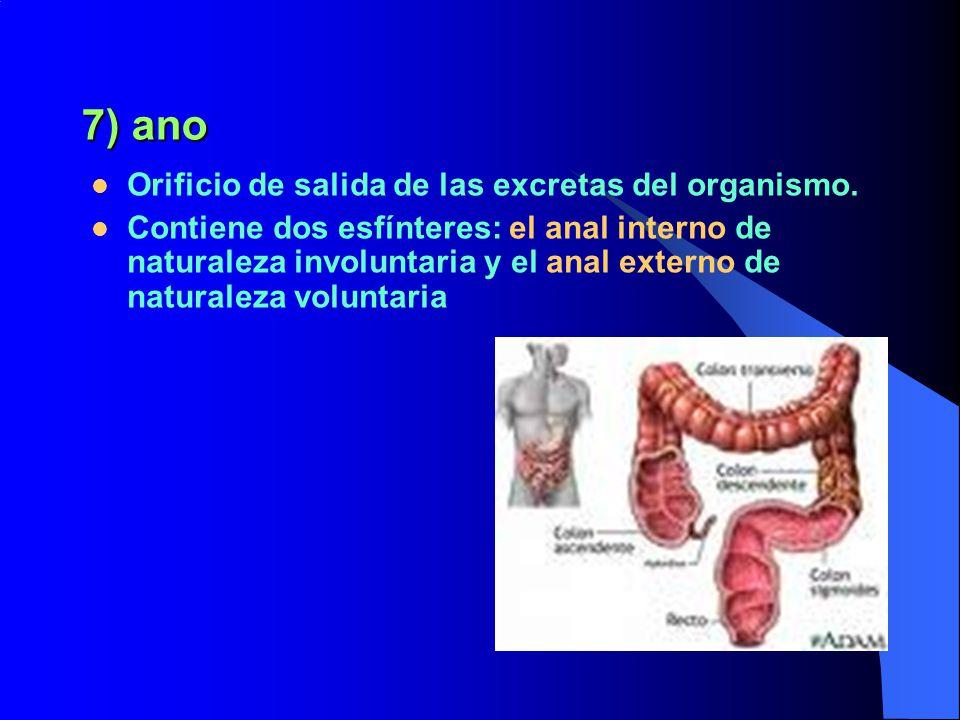 7) ano Orificio de salida de las excretas del organismo.
