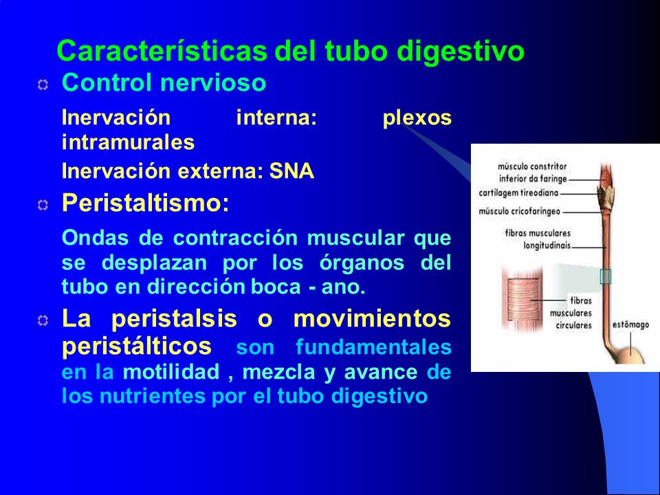 Características del tubo digestivo