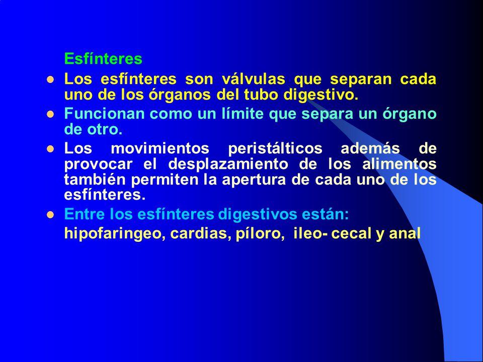 Esfínteres Los esfínteres son válvulas que separan cada uno de los órganos del tubo digestivo.