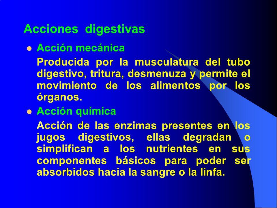 Acciones digestivas Acción mecánica