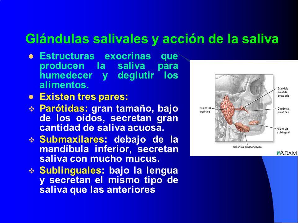 Glándulas salivales y acción de la saliva