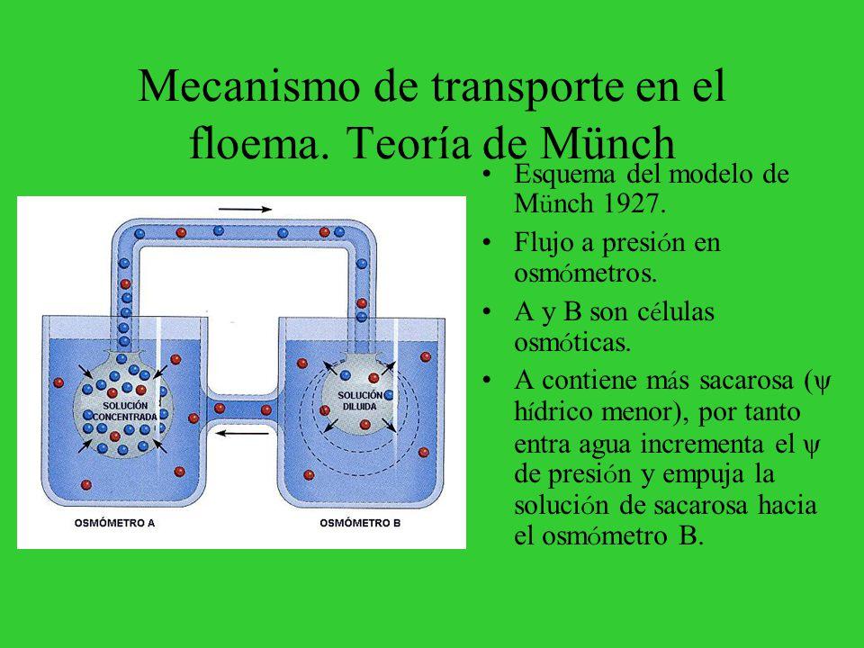 Mecanismo de transporte en el floema. Teoría de Münch