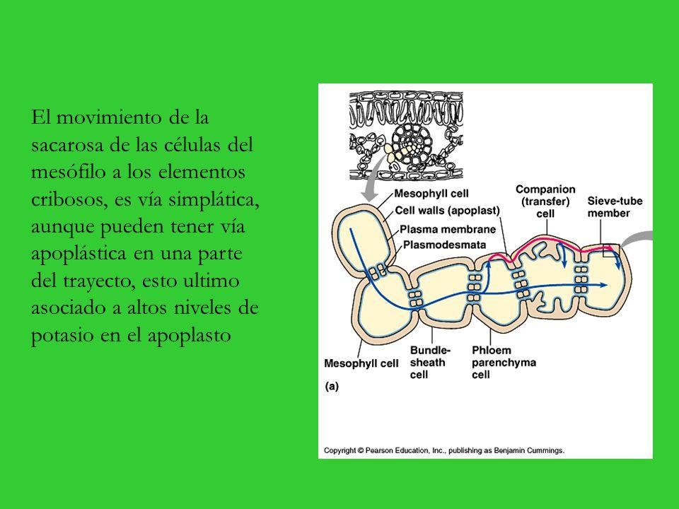El movimiento de la sacarosa de las células del mesófilo a los elementos cribosos, es vía simplática, aunque pueden tener vía apoplástica en una parte del trayecto, esto ultimo asociado a altos niveles de potasio en el apoplasto