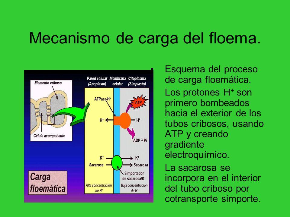 Mecanismo de carga del floema.