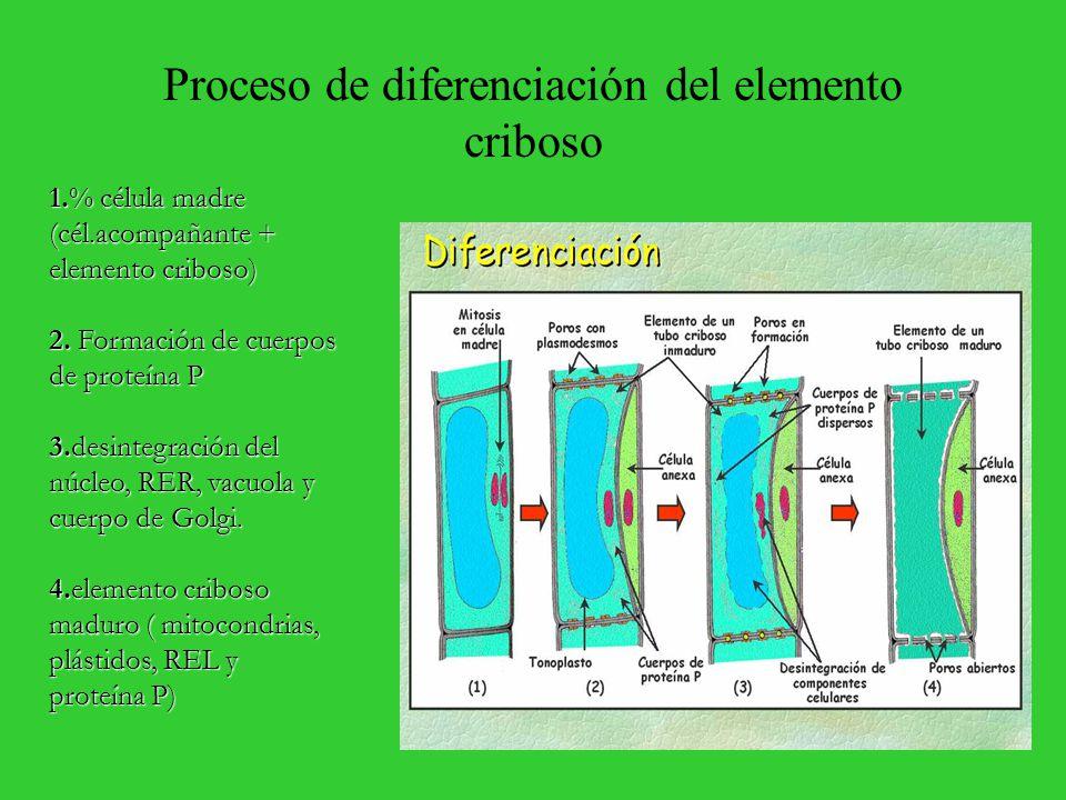 Proceso de diferenciación del elemento criboso