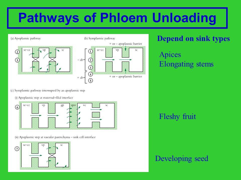 Pathways of Phloem Unloading