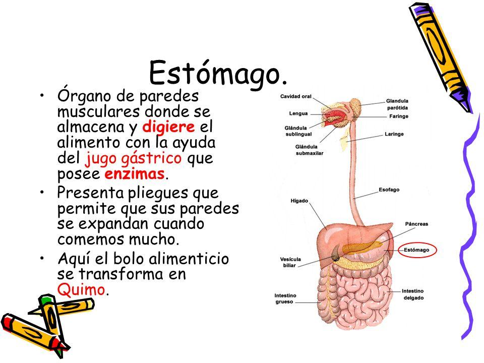 Estómago. Órgano de paredes musculares donde se almacena y digiere el alimento con la ayuda del jugo gástrico que posee enzimas.