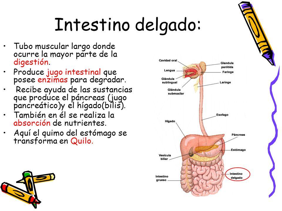 Intestino delgado: Tubo muscular largo donde ocurre la mayor parte de la digestión. Produce jugo intestinal que posee enzimas para degradar.