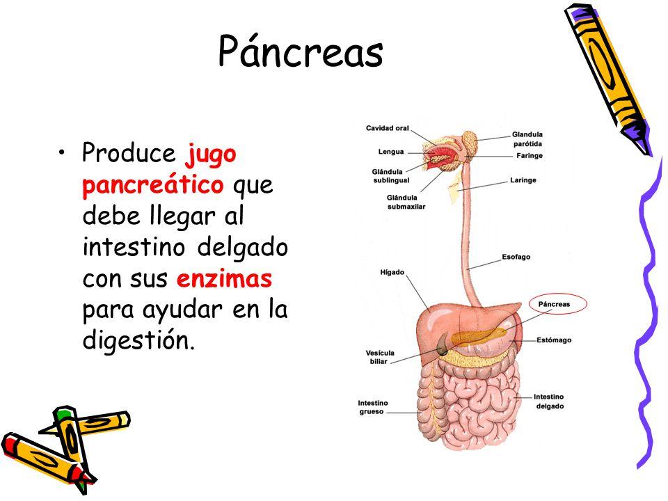 Páncreas Produce jugo pancreático que debe llegar al intestino delgado con sus enzimas para ayudar en la digestión.
