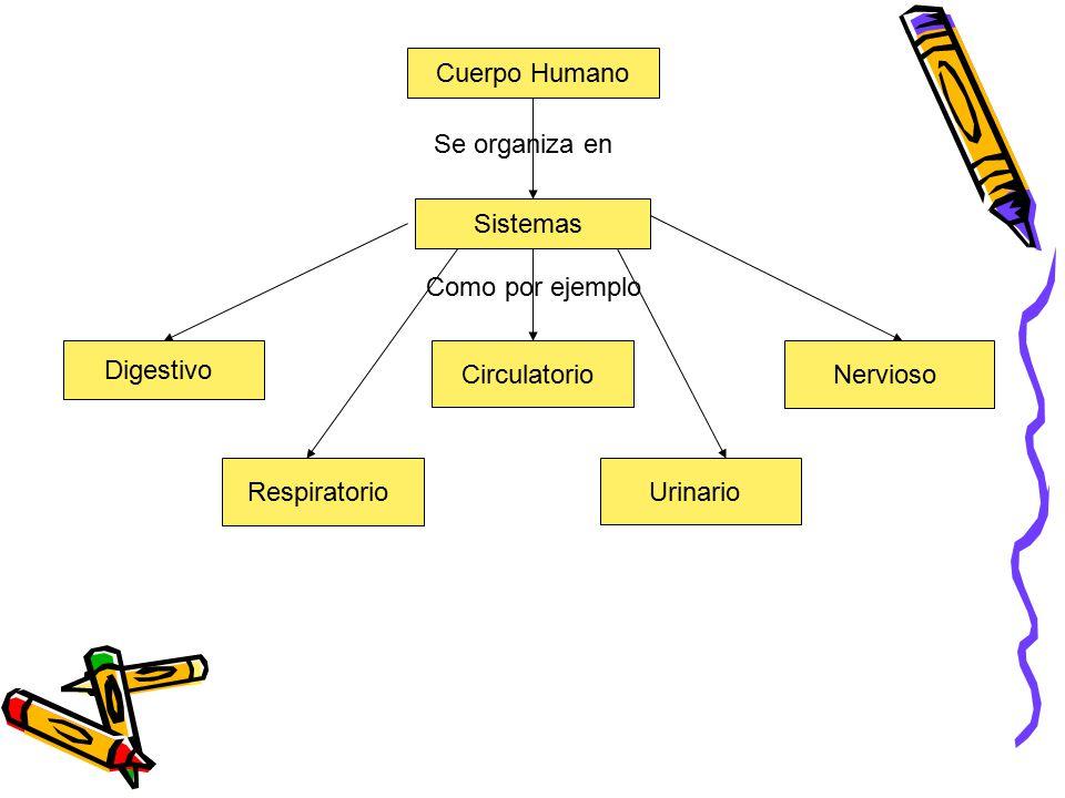 Cuerpo Humano Se organiza en. Sistemas. Como por ejemplo. Digestivo. Circulatorio. Nervioso. Respiratorio.