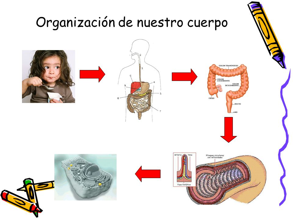 Organización de nuestro cuerpo