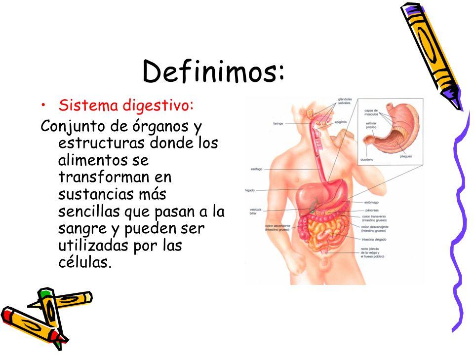 Definimos: Sistema digestivo: