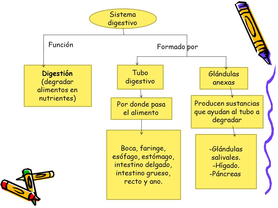 (degradar alimentos en nutrientes) Tubo digestivo Glándulas anexas